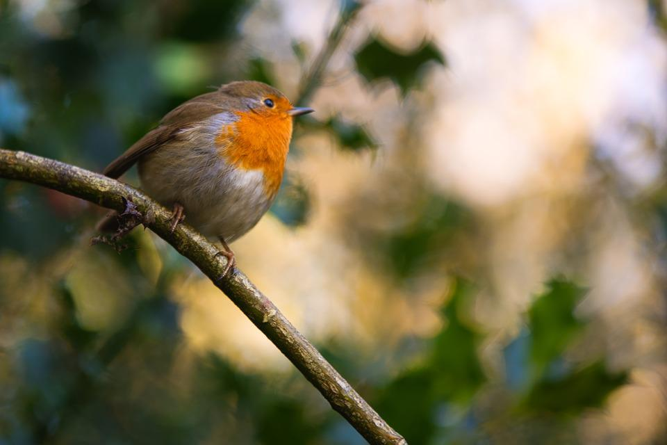 Robin, Holly, Winter, England, Woodland, Birds