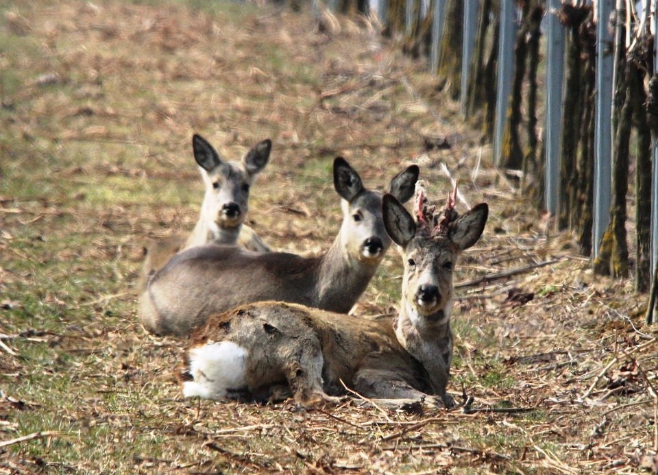 Roe Deer, Vineyard, Spring, Furred Game, Winter