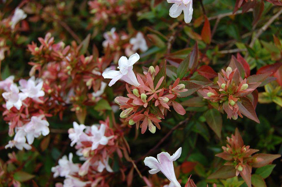 Jasmine, Winter, Fall, Flowers, White, Green, Shrub