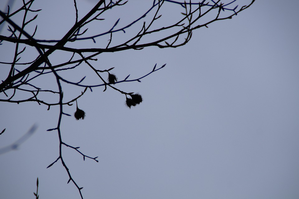 Beech Nuts, Beech, Silhouette, Branches, Sky, Winter