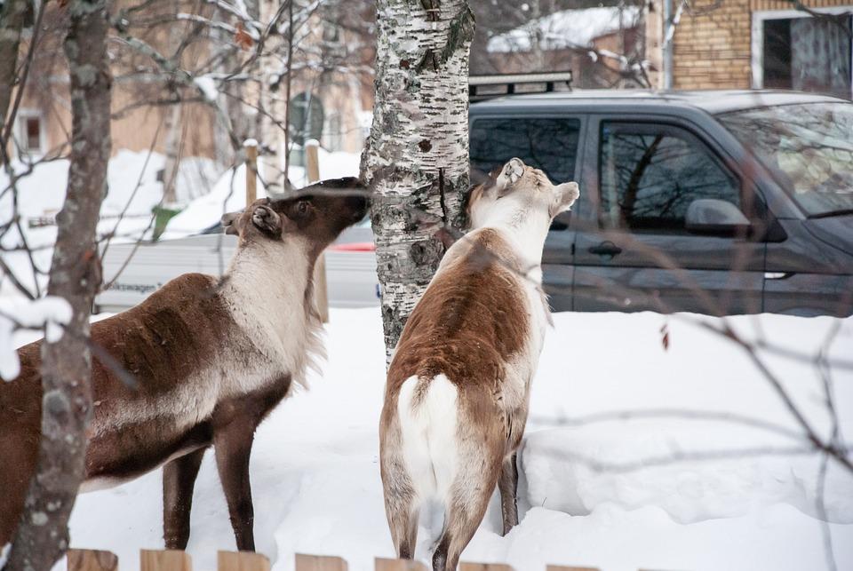 Animals, Road, Snow, Winter, Cold, Jokkmokk, Sweden