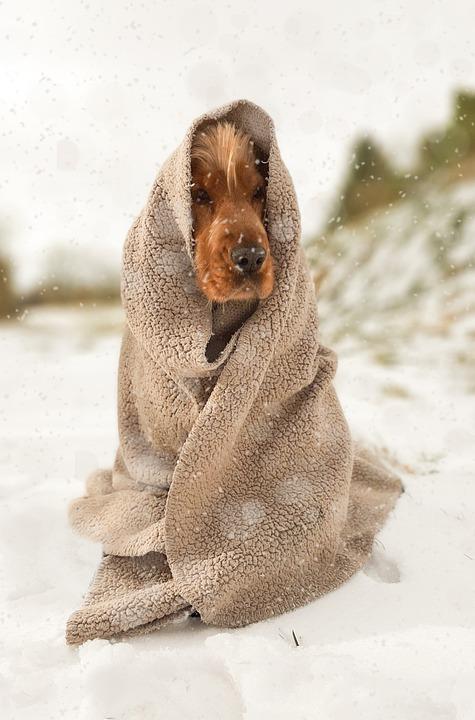 Cocker Spaniel, Purebred, Snow, Blanket, Cold, Winter