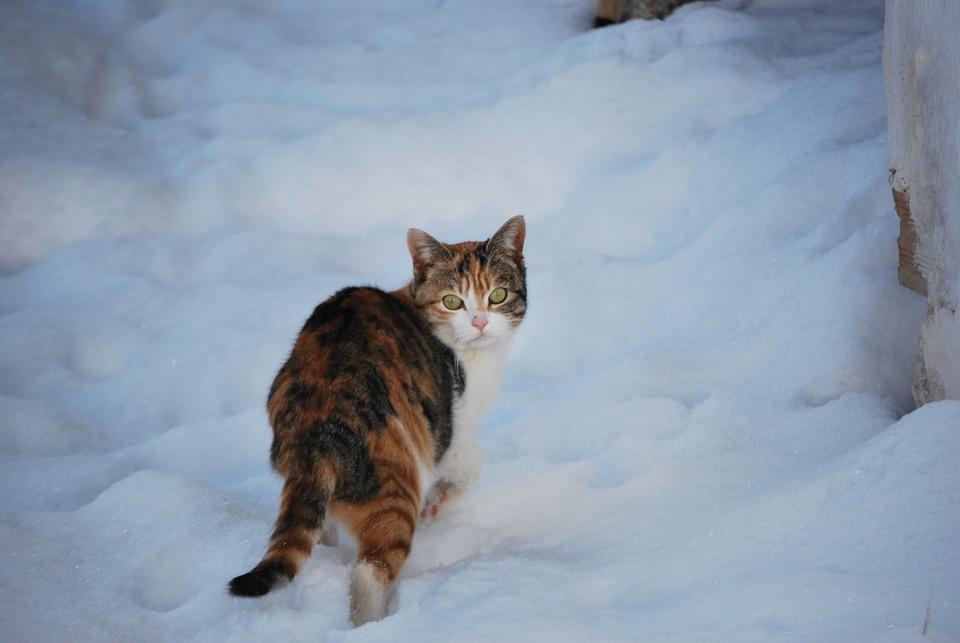 Cat, Snow, Winter