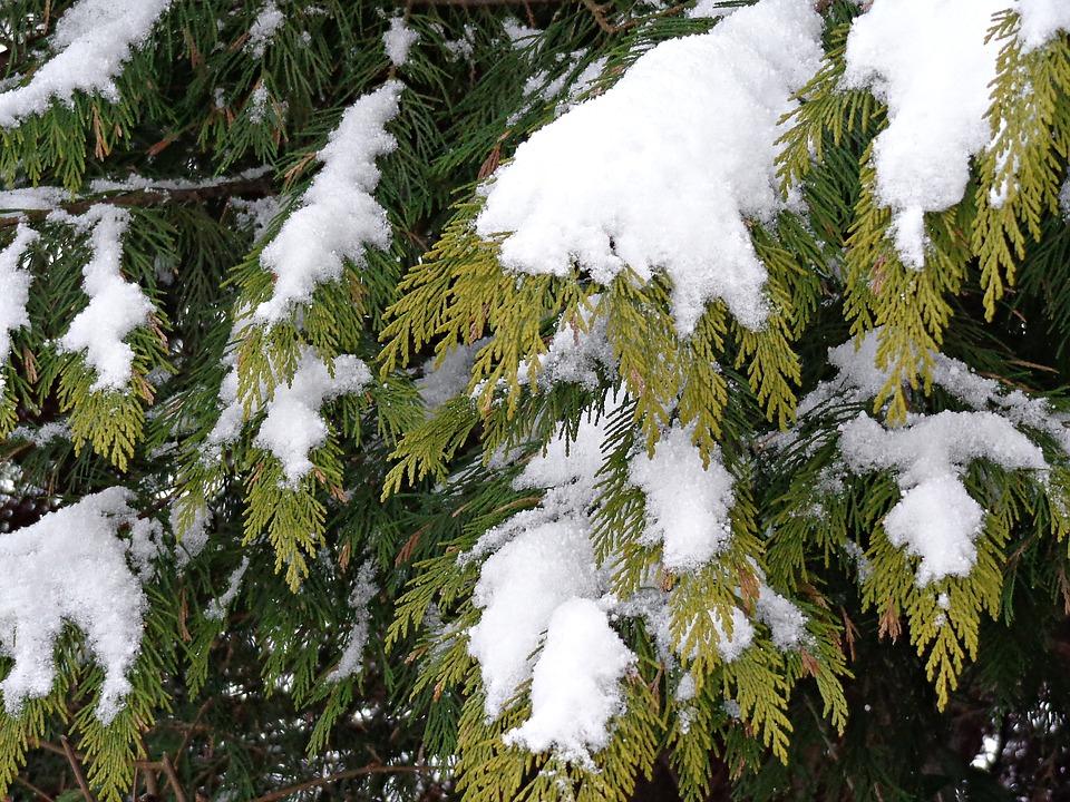 Snow, Christmas Tree, Winter, Christmas
