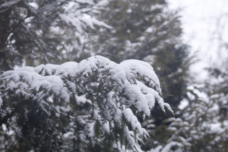 Winter, Snow, Covered Branches