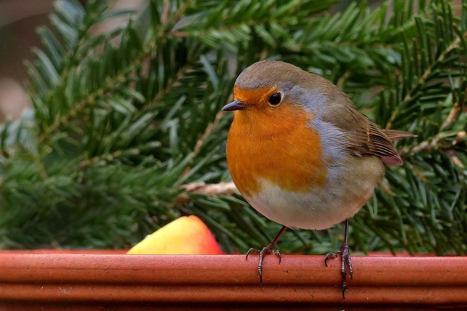 Robin, Bird, Songbird, Garden, Winter, Food Bowl