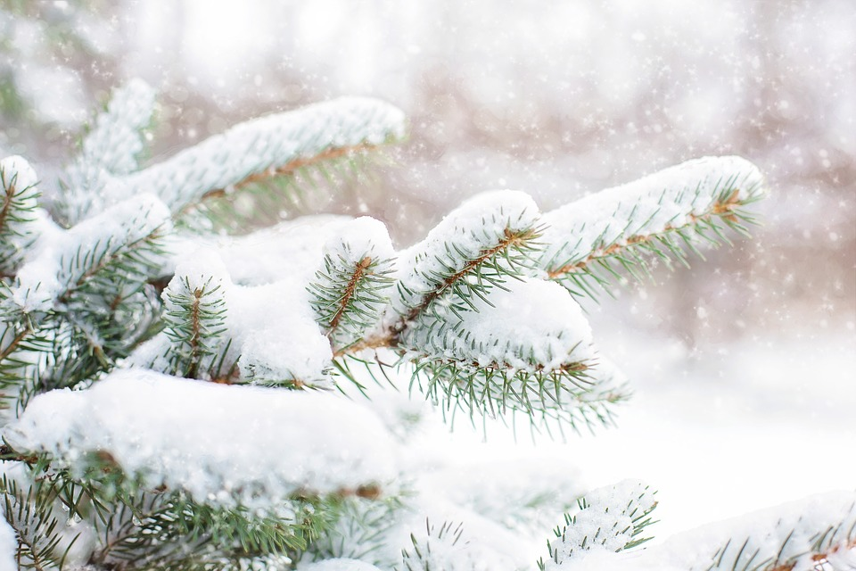 Snow In Pine Tree, Pine Branch, Winter, Snow, Tree