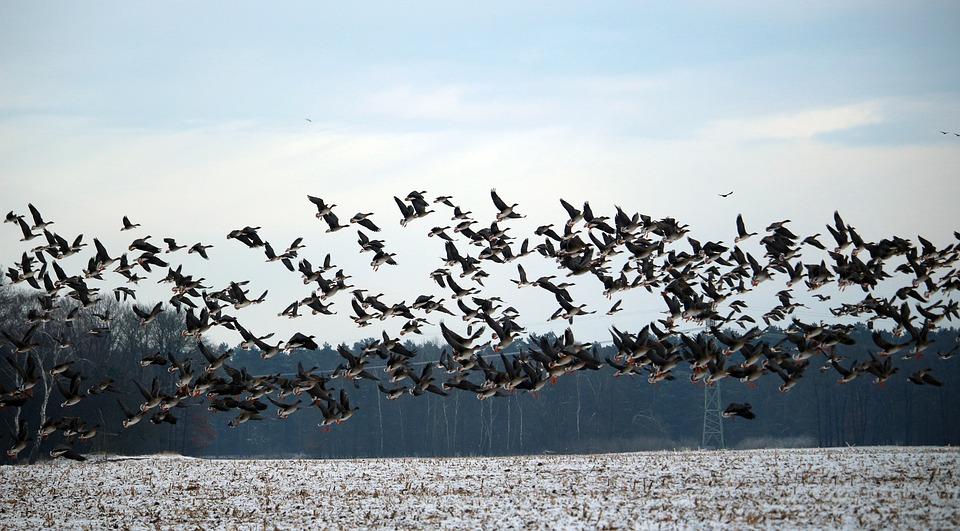Wild Geese, Flock Of Birds, Winter, Snow