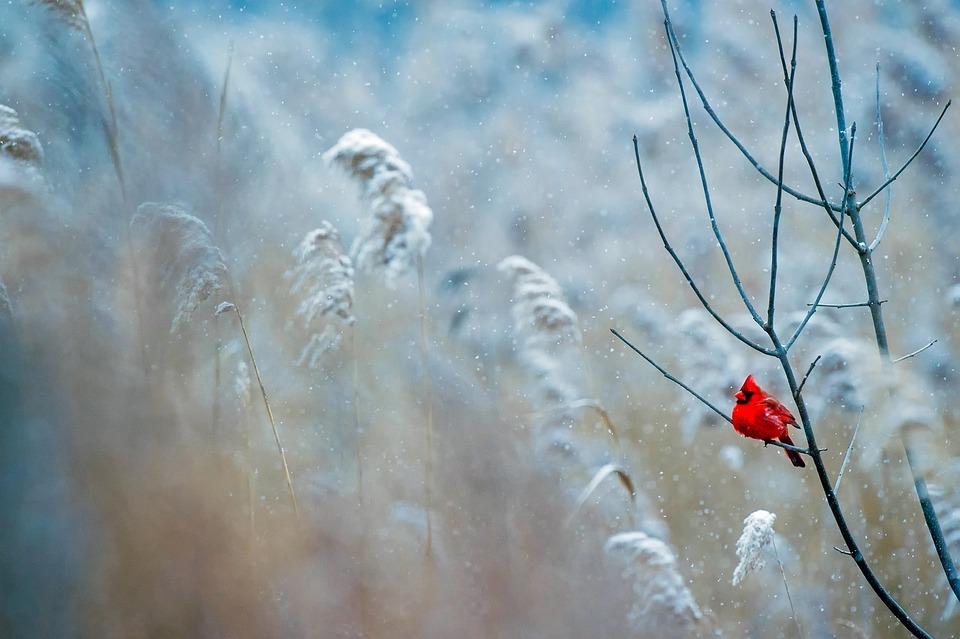 Cardinal, Bird, Wildlife, Snow, Winter, Frost, Nature
