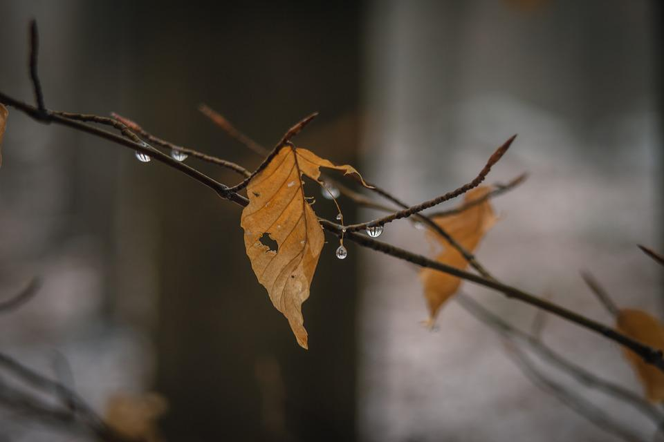 Leaf, Winter, Withered, Drop Of Water, Tree, Nature
