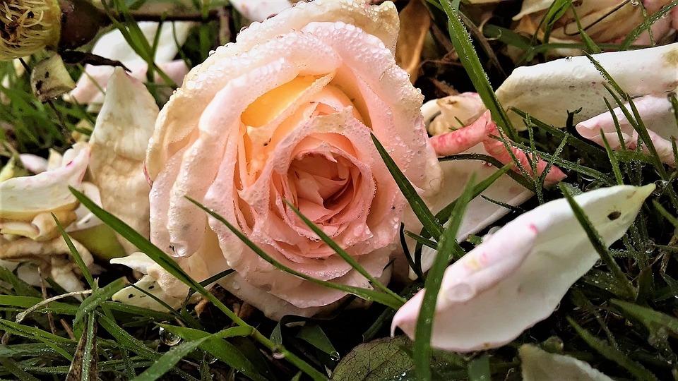 Grass, Winters, Dew Drops, Rose, Flower, Petal
