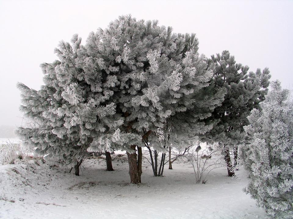 Tree, Winter, Trees, Ice, Wintry, Pine