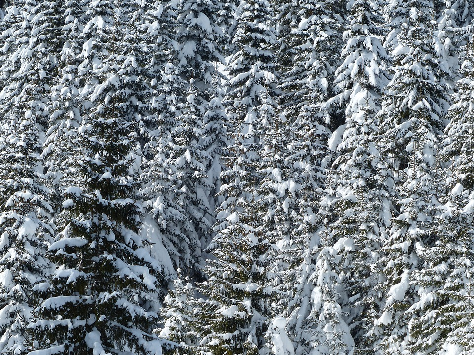 Fir, Firs, Trees, Snowy, Winter, Snow, Wintry