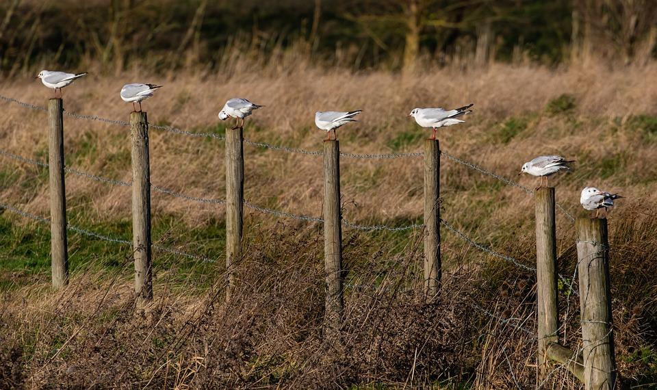 Birds On A Post, Birds, Avian, Perch, Sea Gulls, Wire