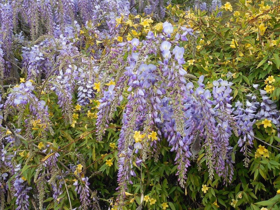 Wisteria, Bloom, Purple, Flower, Ornamental, Jessamine