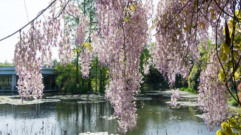 Wisteria Rose, Tree, Flower, Season, Nature