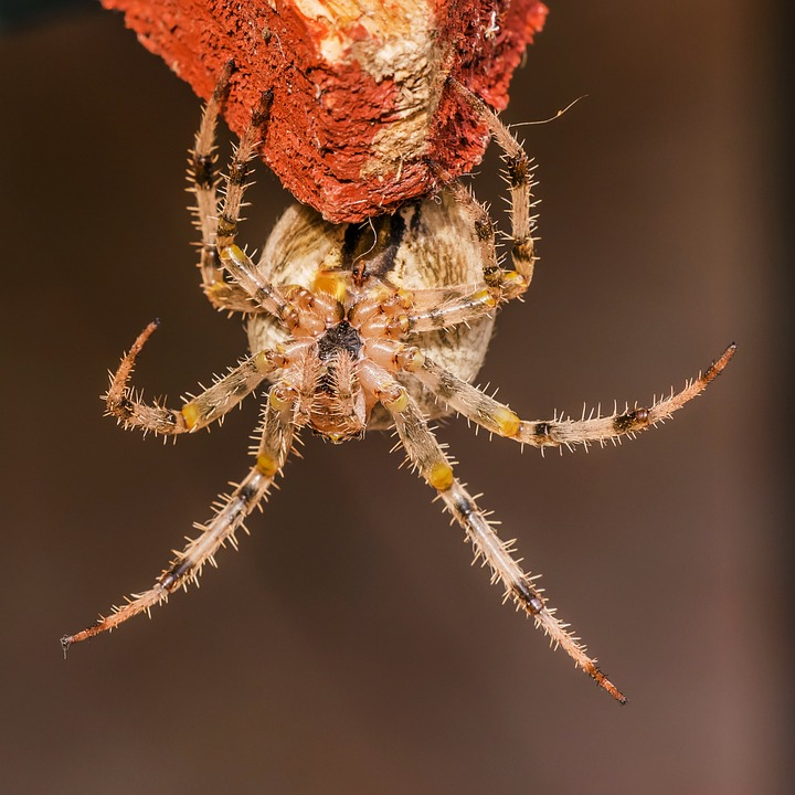 Spider, With, Crowned Keresztespók, Araneus Diadematus