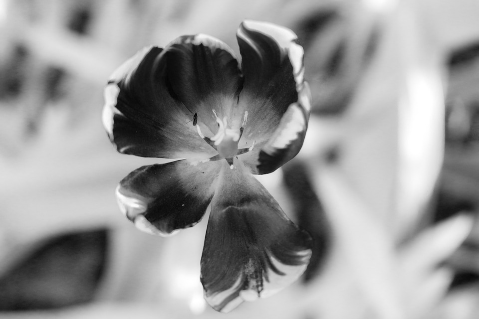 Flower, Tulip, Plant, Blossom, Withered, Faded, Nature