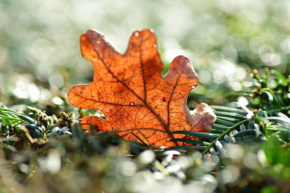Oak Leaf, Vein, Pattern, Dry, Withered, Nature