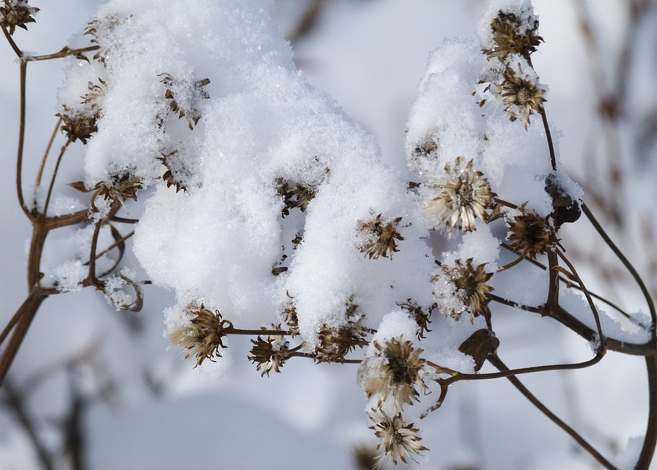 Snow Covered, Wild Plant, Withered, Winter, Cold, Snow