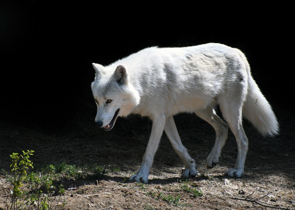 Wolf, Predator, Mammal, White, Animal, Wolf Arctic