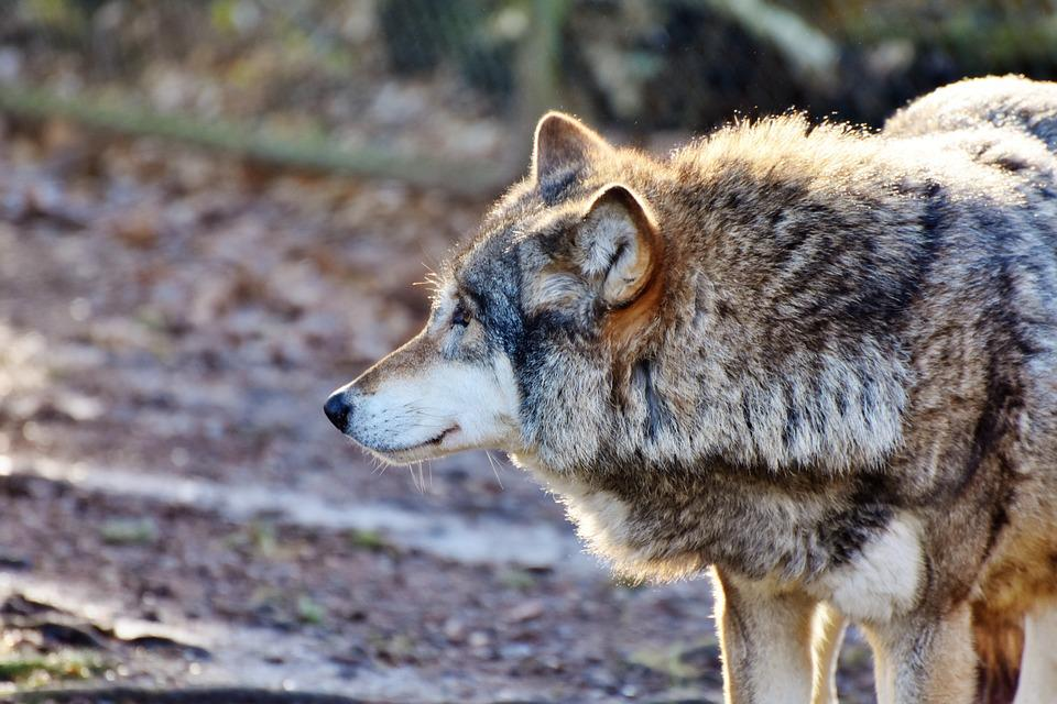 Wolf, Predator, European Wolf, Pack Animal, Carnivores