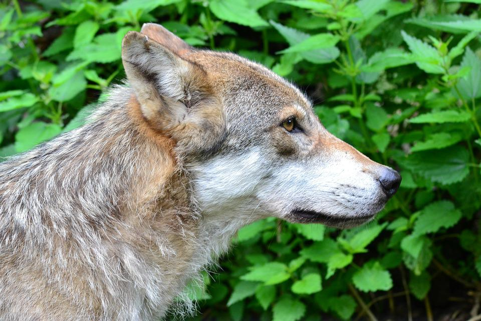 Wolf, Predator, Close, Pack Animal, Animal, Wolf Head