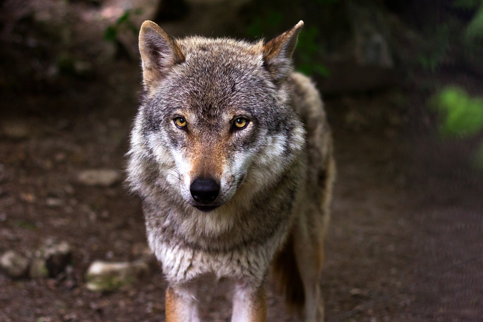 Wolf, Predator, Hunter, Canis Lupus, Eyes, View