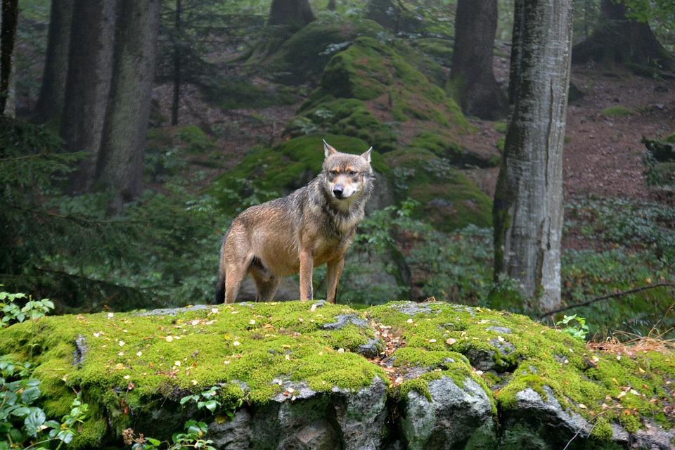 Wolf, Pack Leader, Animal, Bavarian National Park