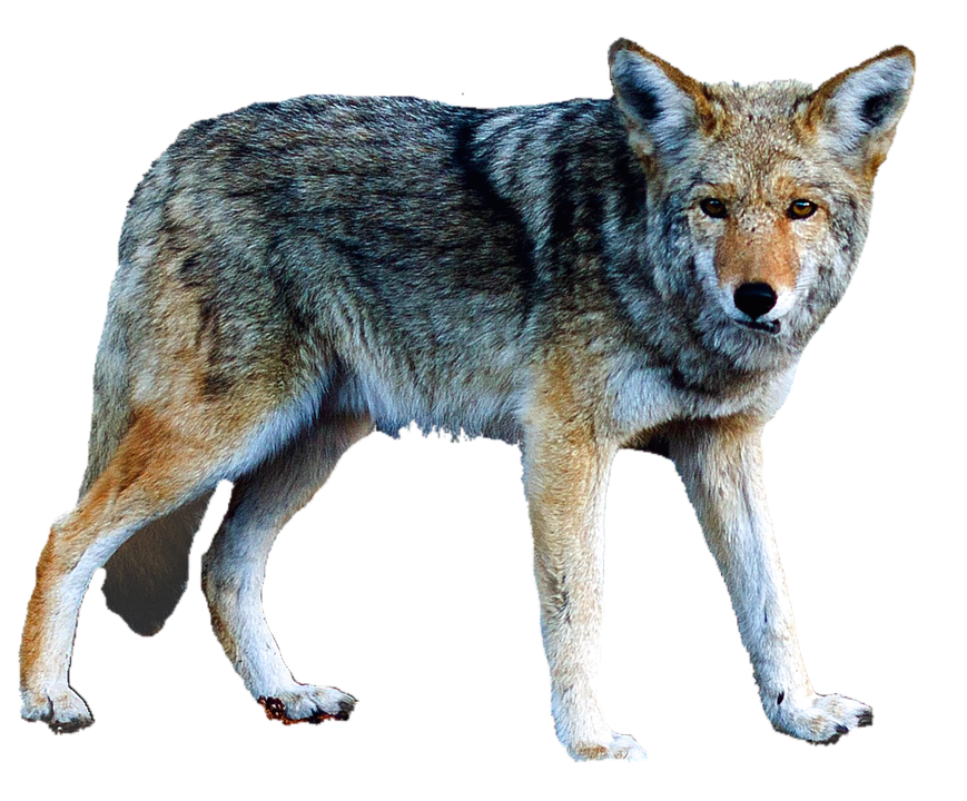 Isolated, Wolf, Animal, Nature, Predator, Carnivores