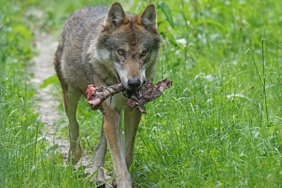 Wolf, Predator, Pack Animal, Carnivores, Mammal, Prey