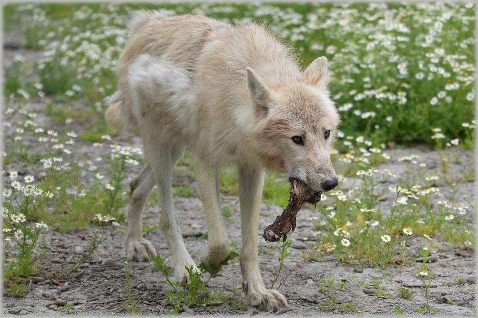 Wolf, Predator, European Wolf, Gray Wool, White Wolf