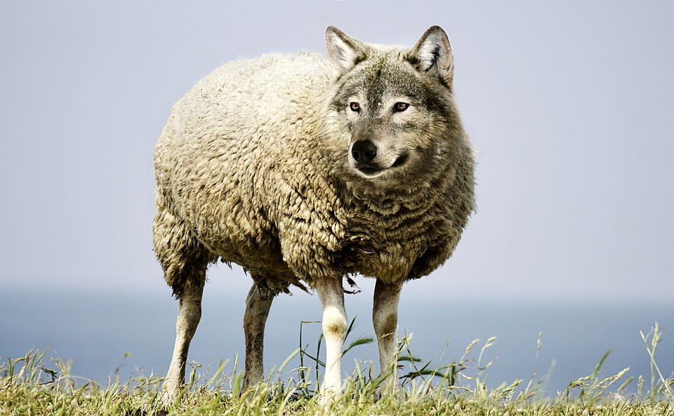 Wolf In Sheep's Clothing, Wolf, Sheep, Sheepskin, Wool