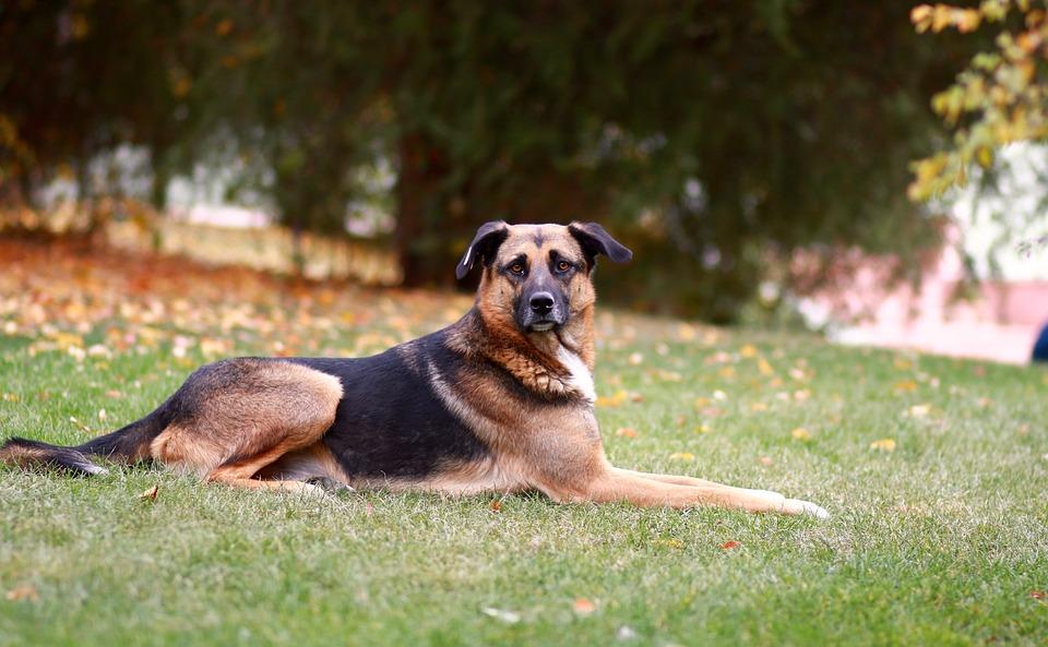 Dog, Shepherd Dog, Wolfhound