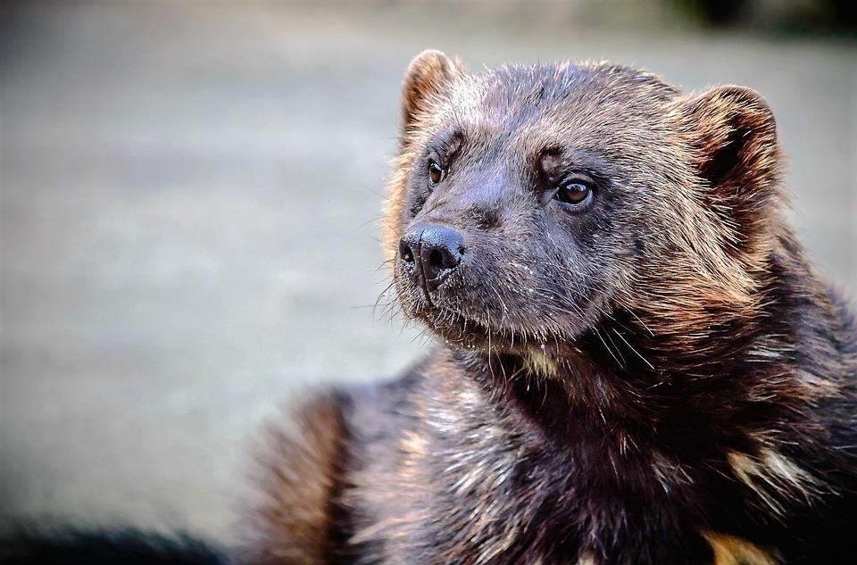 Animal, Nature, Wild, Wolverine, Marten, Predator
