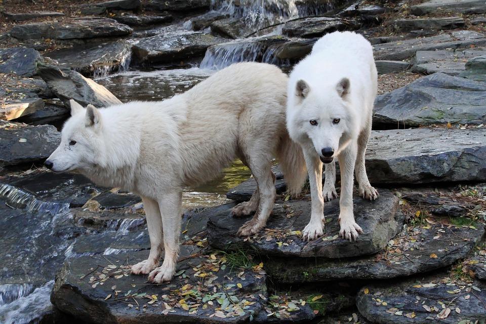 Wolves, Whites, Animal, Wild, Predator