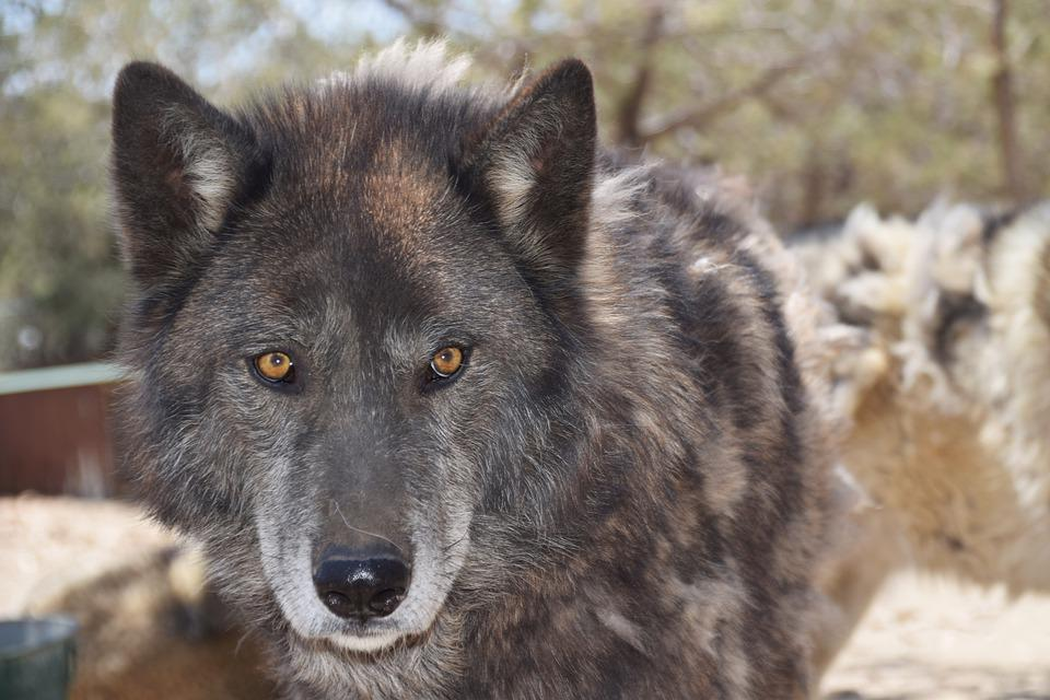 Wolves, Mammal, Wild, Animal
