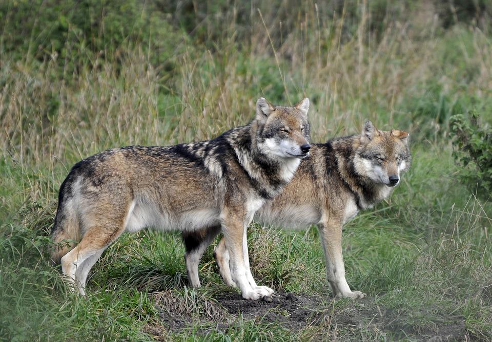 Wildlife Park, Poing, Wolves