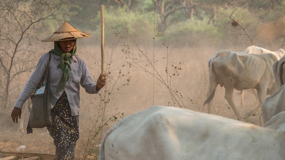 Carabao, Farm, Burma, Myanmar, Woman
