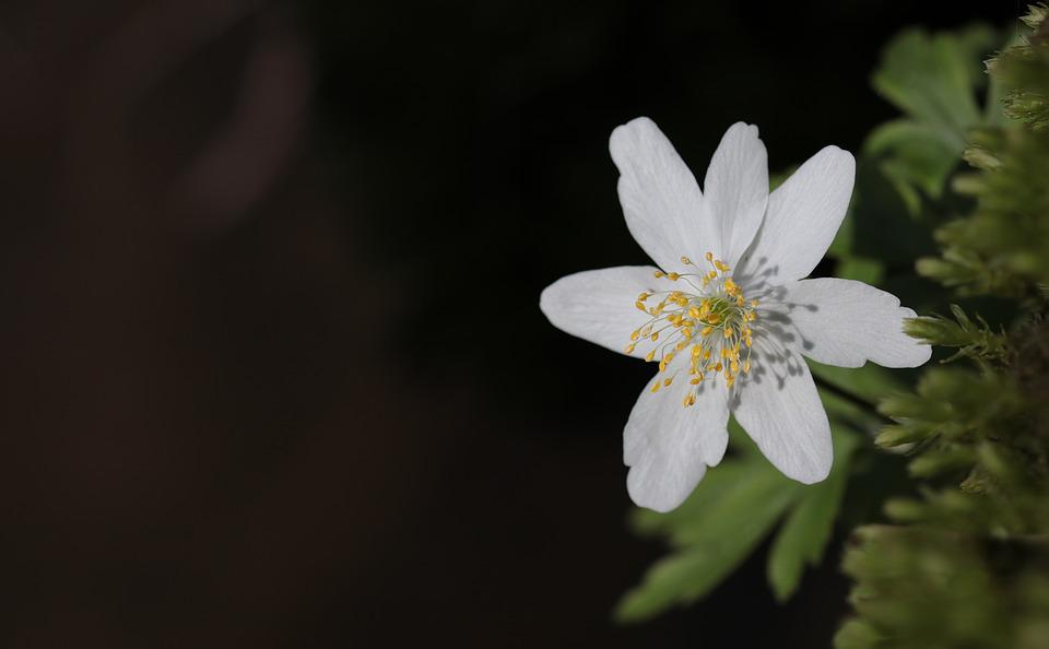 Wood Anemone, Anemone Nemorosa, Flower, Nature, Plant