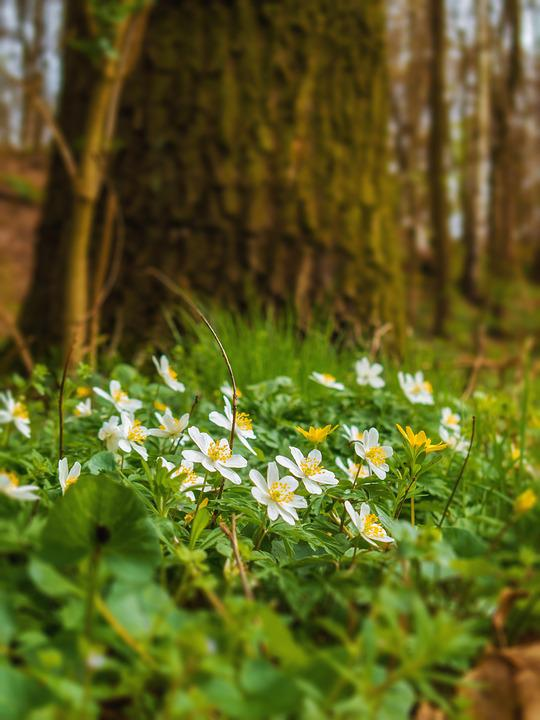 Wood Anemone, Nature, Flowers, Plant, Flower, Tree