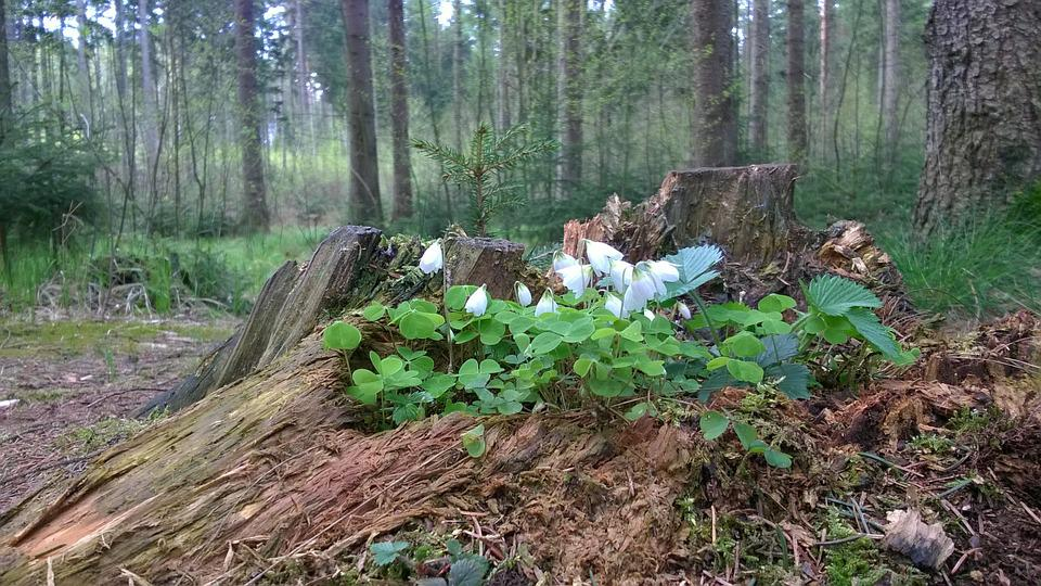 Wood Anemone, Flower, Root, Forest