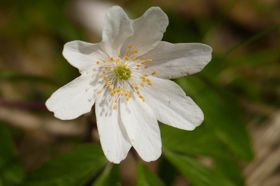 Wood Anemone, Blossom, Bloom, Nature, Plant