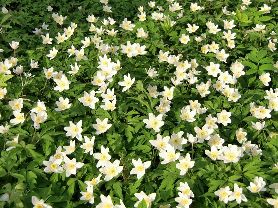 Anemones, Flowers, Wood Anemone, Spring Flower, Spring