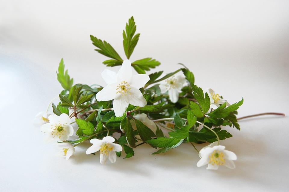 Wood Anemone, Anemones, Spring Flower, Spring Flowers