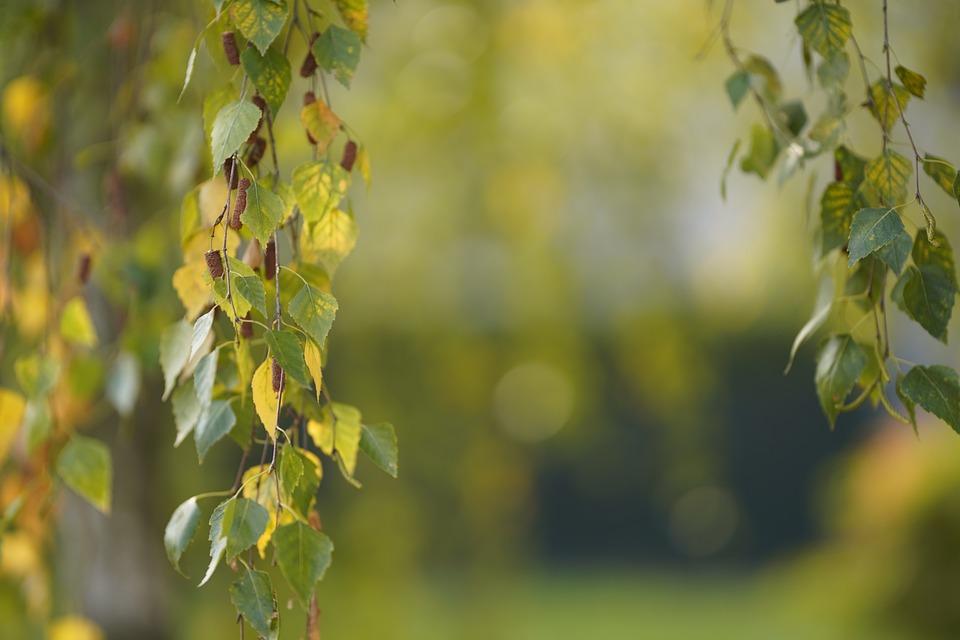 Autumn, Deciduous, Plant, Leaf, Nature, Outdoors, Wood