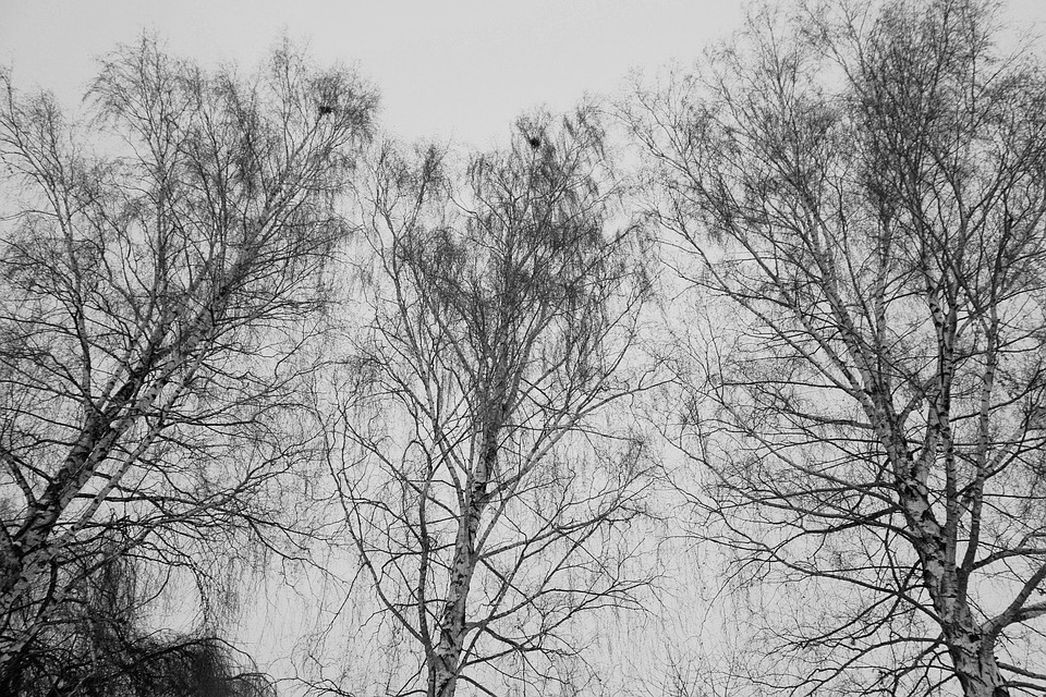 Birch, Trees, Nature, Bark, Log, Wood, Birch Trunk