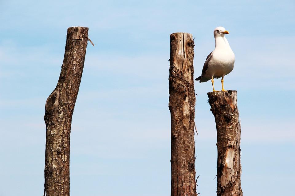 Seagull, Peg, Pile, Bird, Wood, Wood Pile, Post
