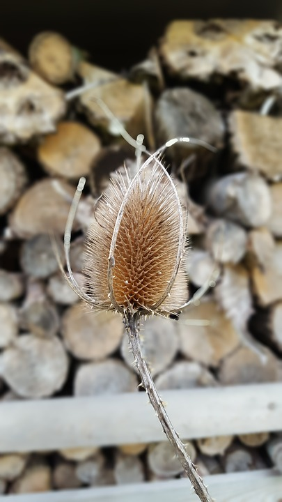 Teasle, Wood, Autumn, Nature, Forest, Tree, Brown