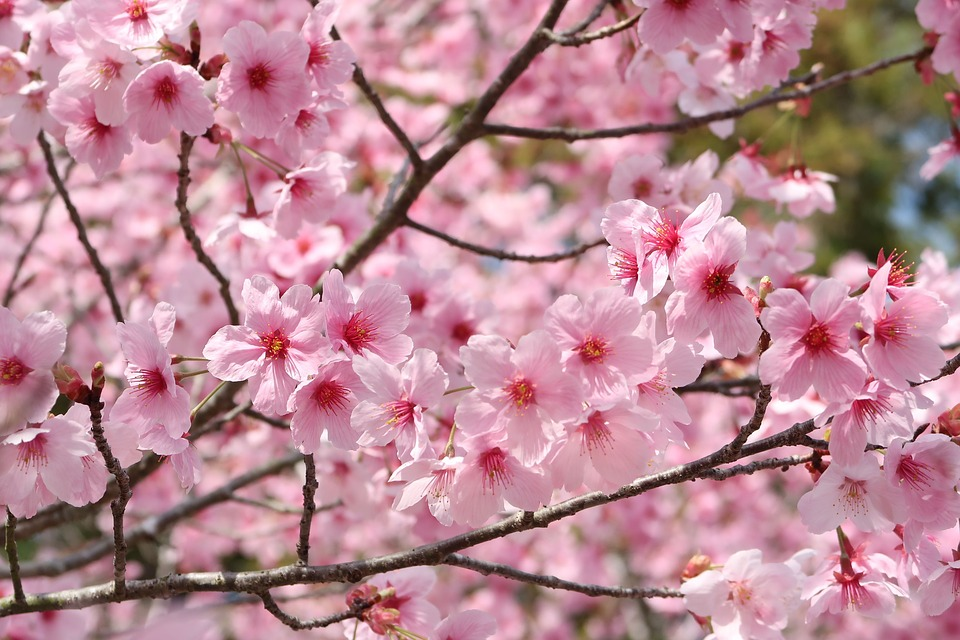 Cherry Blossoms Flowers Branch Wood Plant Petal